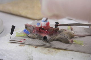 dissection mouse