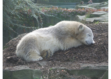 Knut, Dead at Age 4