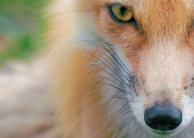 Leaked Footage Exposes Trail Hunting as 'Smokescreen' for Killing Foxes