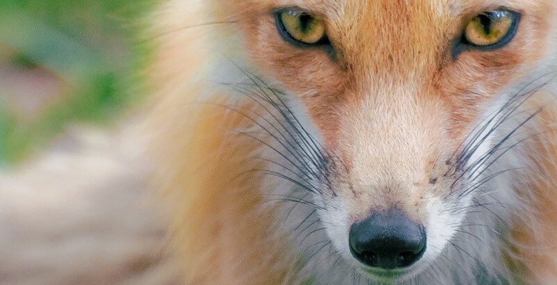 10 Fascinating Facts About Foxes (With Photos)