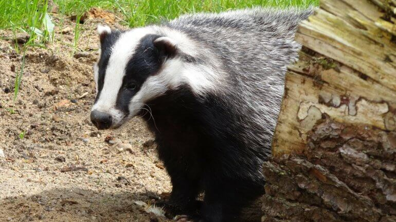 Badger and tree trunk