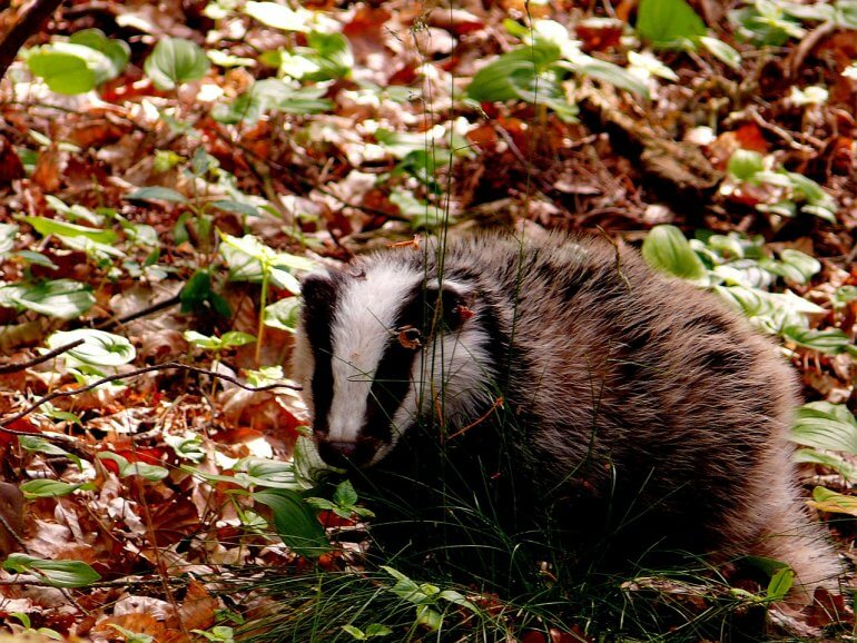 badger and leaves