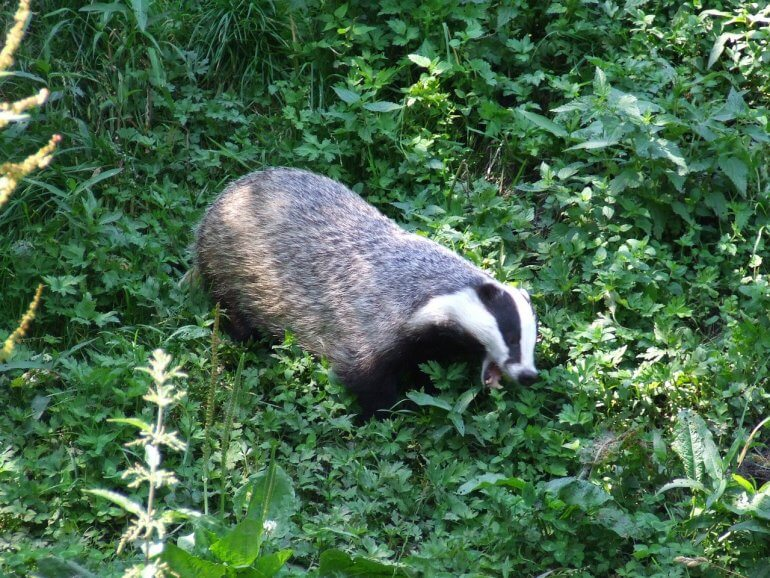 badger on green