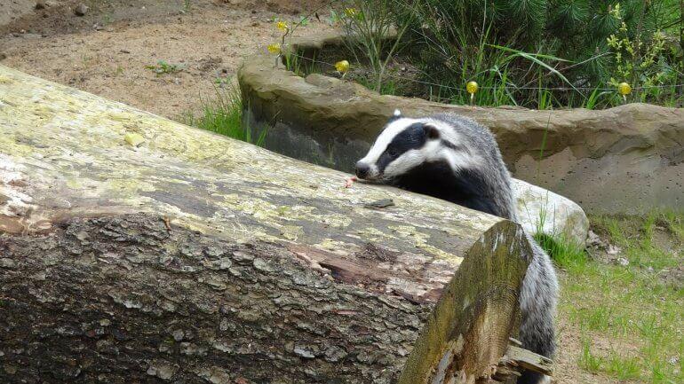 climbing badger