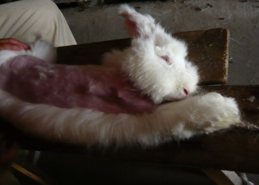 World's Largest Clothing Retailer Helps Syrian Refugees and Angora Bunnies in One Compassionate Move!