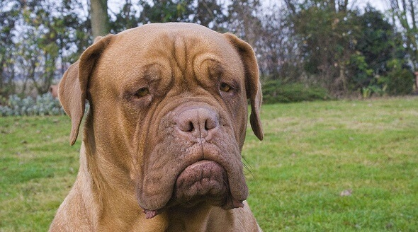 800px-Dogue_de_Bordeaux_serious