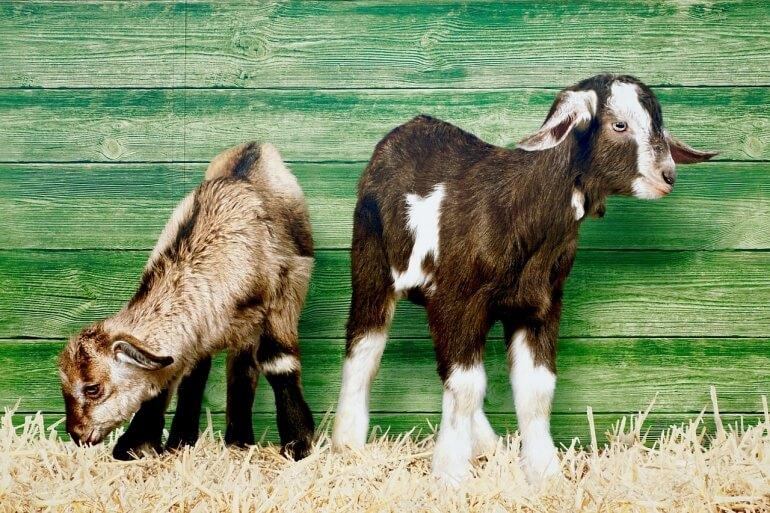Baby goats CC0