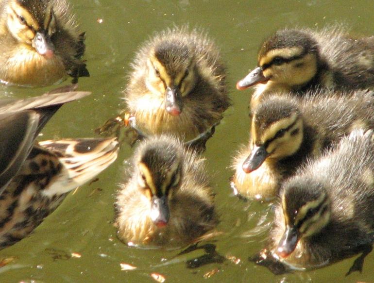 Ducklings group