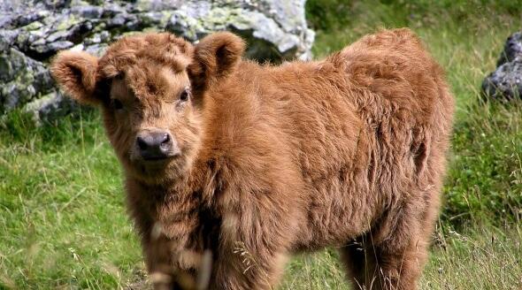 Highland cow CC0