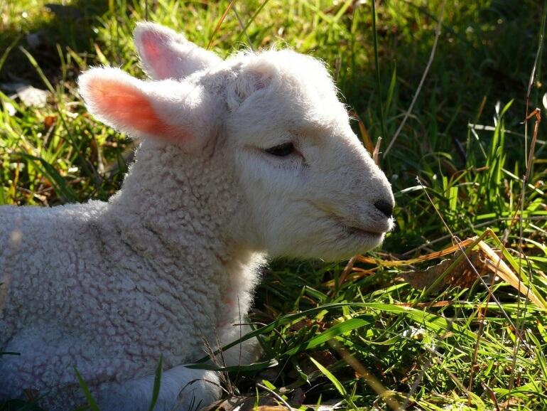 Lamb CC0