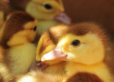 PETA's Foie Gras Campaign Highlights From Over the Years