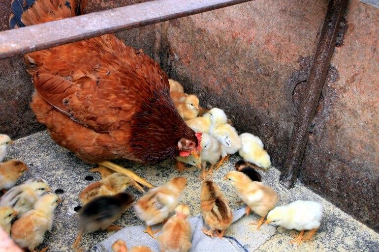 Chicken family CC0