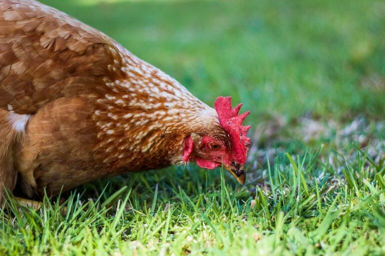 Chicken forage CC0
