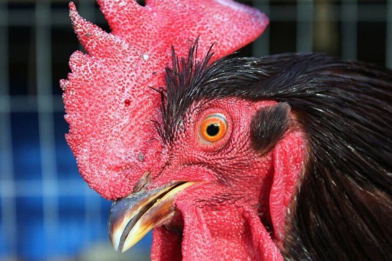 Chicken rooster face CC0