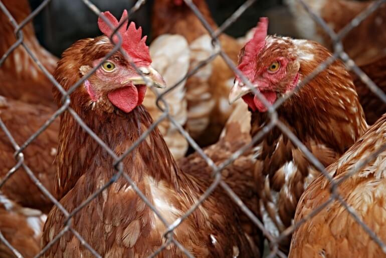 Chickens behind wire CC)