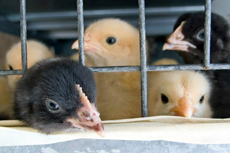 Chicks in cage CC0