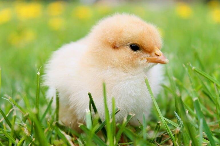 Fluffy chick CC0