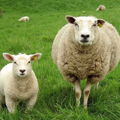 Exposed: Sheer Misery for Sheep