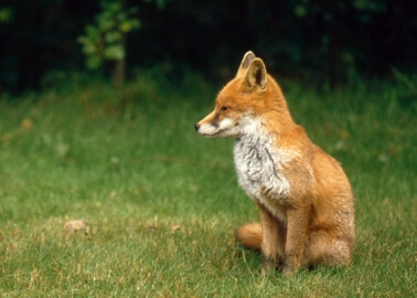 Good News For Foxes! Prime Minister Abandons Attempt to Relax Hunting Ban