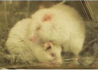 Two Sickly White Mice
