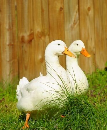 Two White Ducks (Quackers and Crackers)