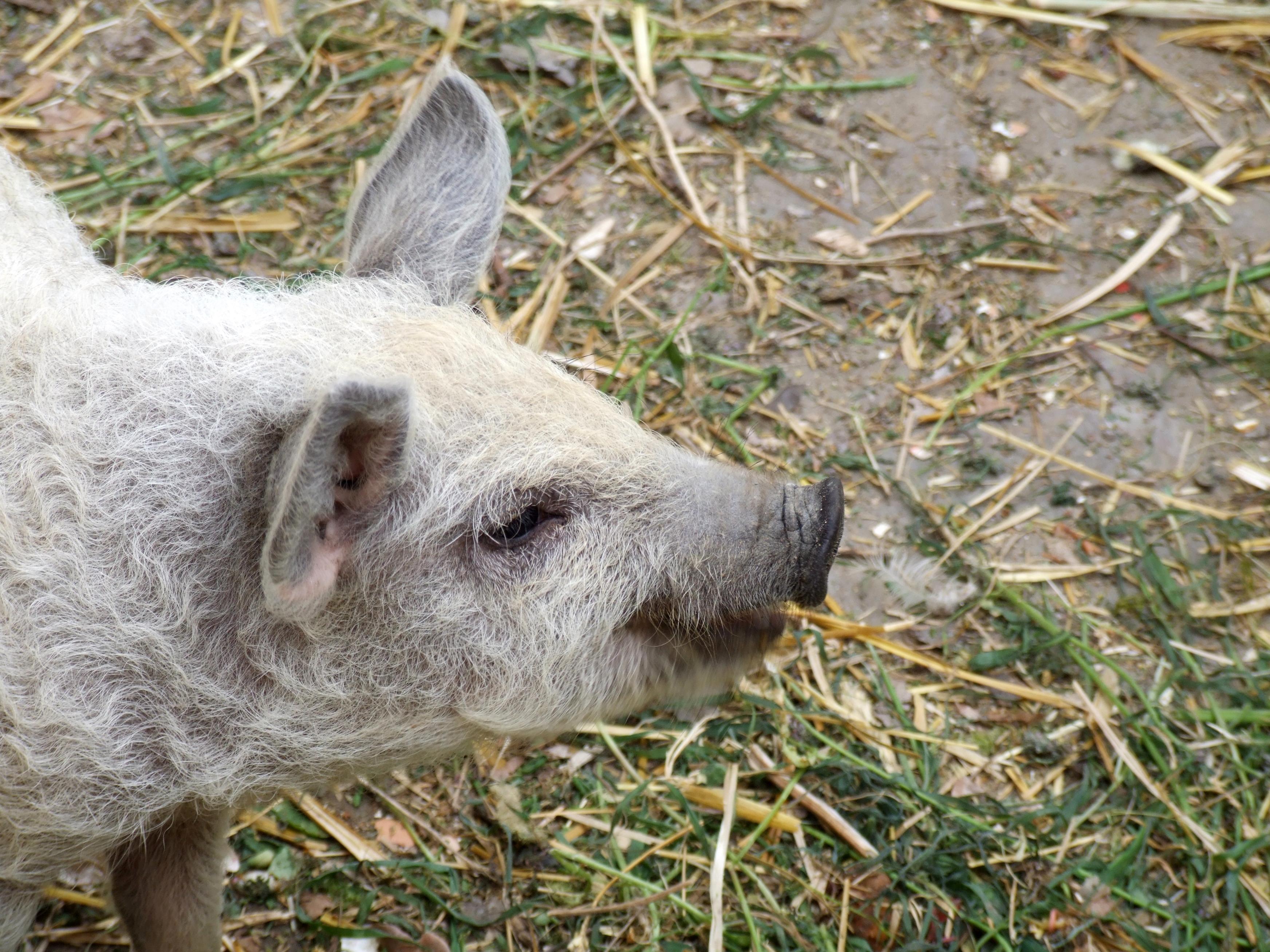 Fluffy Piggie