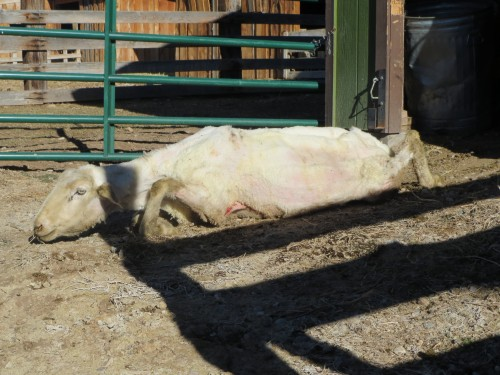 2014-03-28_12_Ewe unable to move after being shorn_IMG_0022