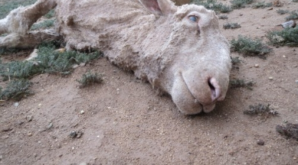 2014-03-30_08_Close-up-of-dead-sheep-outside-shed-after-work_IMG_0038-500x375.jpg