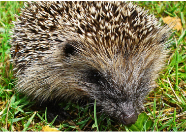 How and Why to Show Hedgehogs Some Springtime Love