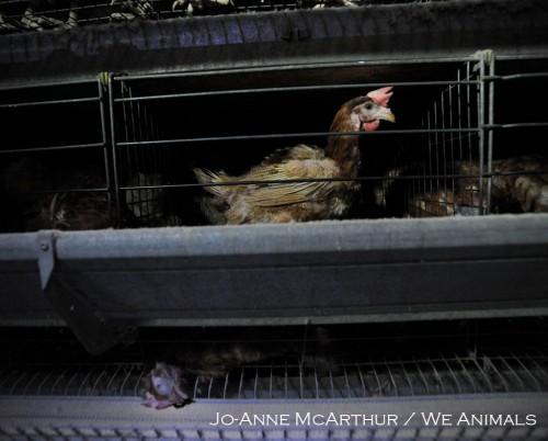 4 We Animals copy