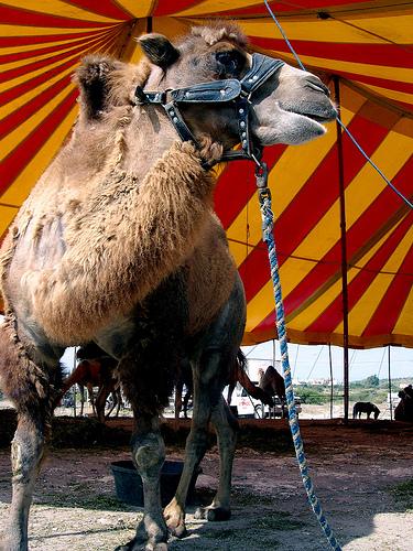 PETA Circus Camel