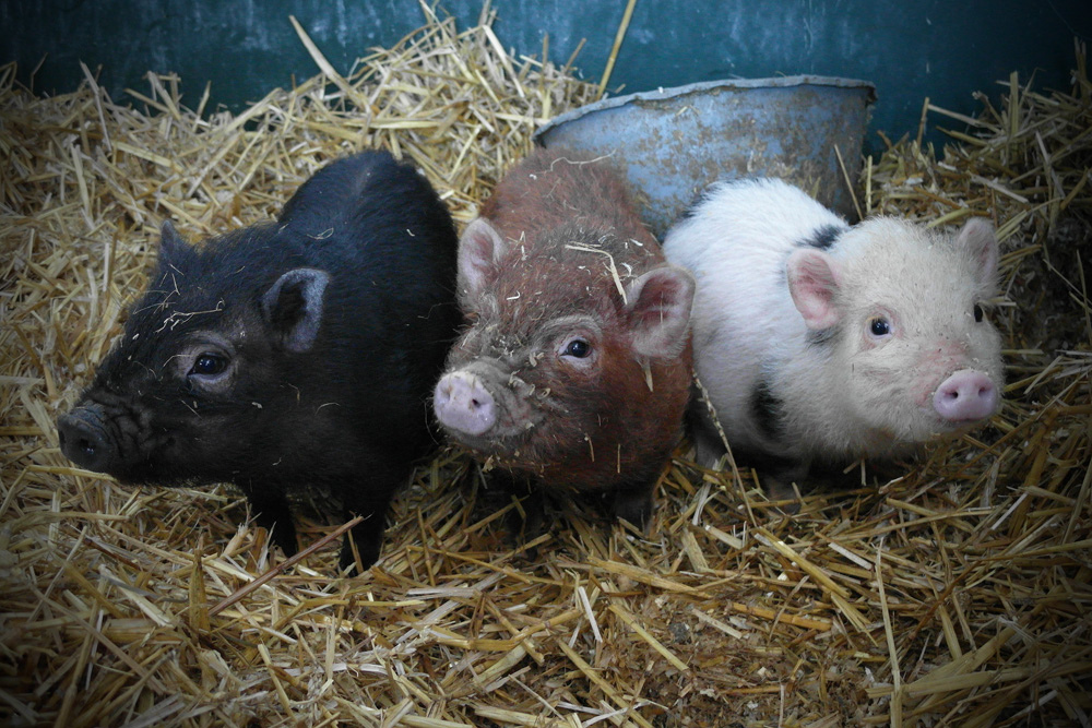 Oink Oink Oink