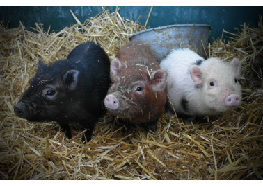 10 Things You Never Knew About Pigs (With Photos)