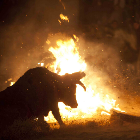 Help Stop the Sadistic 'Fire Bull' Festival in Soria