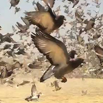 Hundreds of Thousands of Pigeons Face Horrible Deaths During Cruel Races