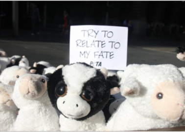 Cuddly Sheep and Cows Bring Live-Export Message to Australia