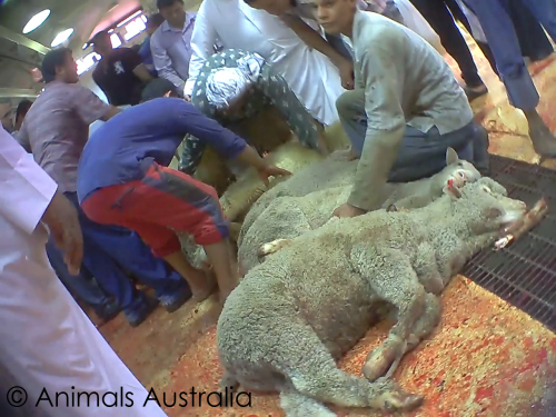 Middle East abattoir live export