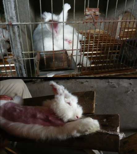 Cruelty to angora rabbits on Chinese farms