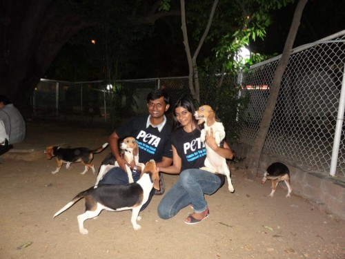 Victory 70 Beagles Rescued From Tests