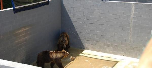 Bear in pit