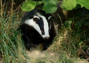 Badger Cull 2014: Somerset and Gloucestershire Massacre Continues