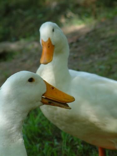 CC Ducks