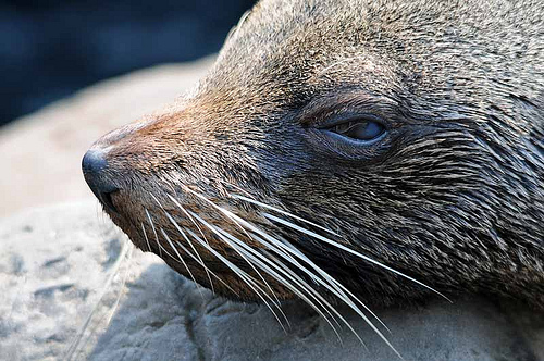 CC Fur Seal