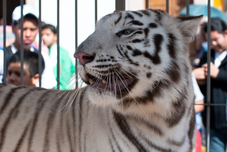 Tiger in Circus Cage
