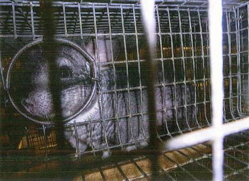 Chinchilla in cage (blurry)