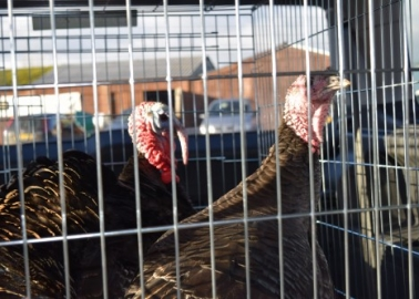 Saved! Happy Christmas for Two Turkeys After Tasteless Radio Poll