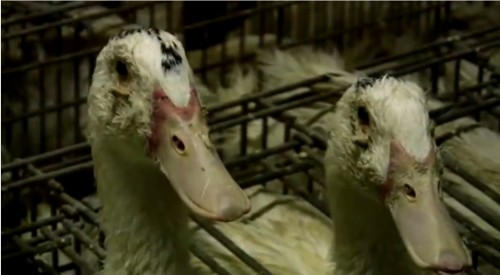 Foie gras production harms welfare of ducks and geese