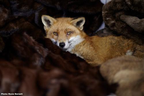 PETA fur coat amnesty