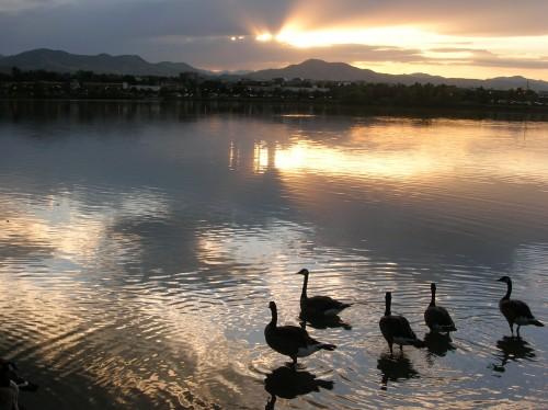 Geese Lake Stock