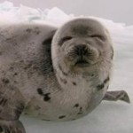 Harp Seal Sea Shepherd
